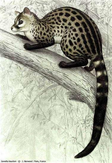 Генетта Берлони (Genetta bourloni), рисунок картинка виверры