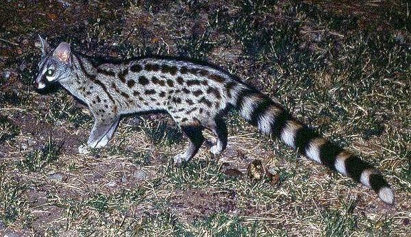 Обыкновенная генетта (Genetta genetta), фото фотография виверры картинка