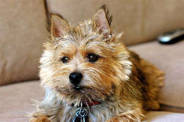 Норвич-терьер, фото охотничьи собаки фотография картинка