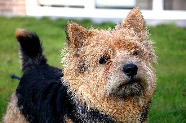 Норвич-терьер, фото породы маленьких собак собачек фотография картинка