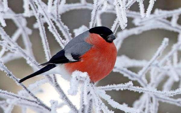 Снегирь (Pyrrhula pyrrhula), фото фотография птицы картинка