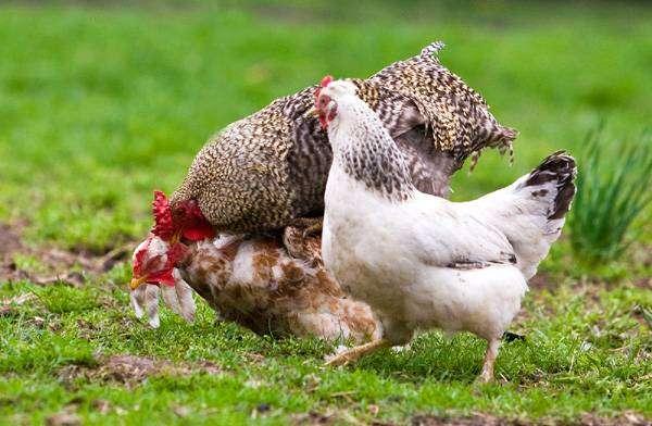 Домашние куры, фотография птицы фото куриные картинка