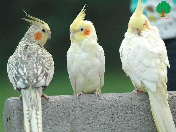 Кореллы, фото попугаи фотография птицы картинка кареллы