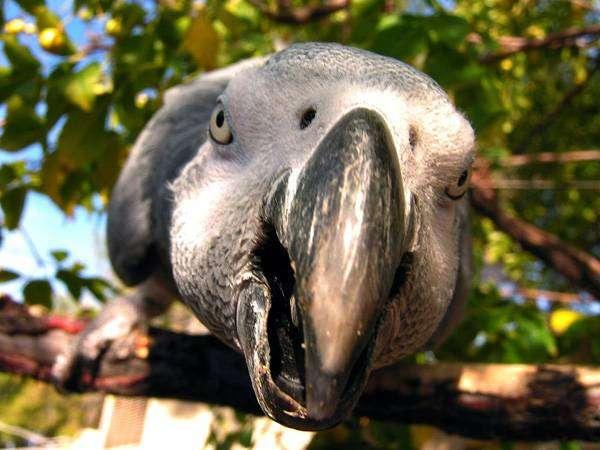 Серый попугай, или жако (Psittacus erithacus), фото птицы фотография картинка