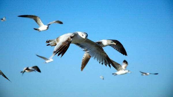 Летящие чайки или крачки, фото птицы фотография картинка