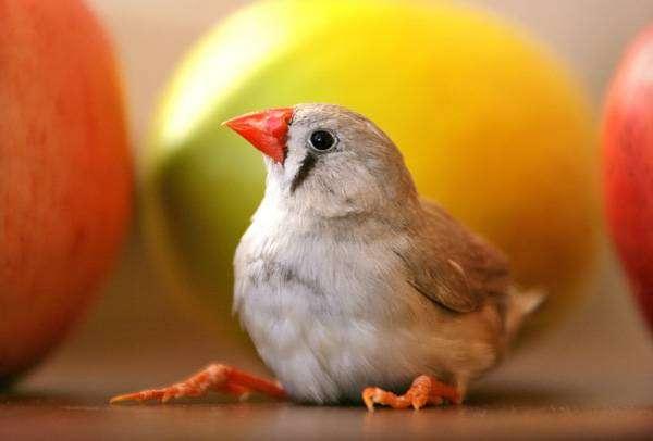 Амадина, фото фотография птицы картинка