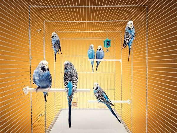 Волнистые попугаи в клетке, фото птицы фотография картинка