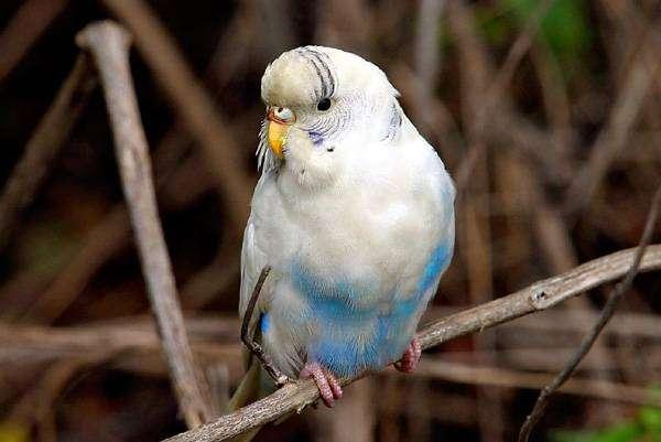Волнистый попугай попугайчик, фото птицы фотография картинка