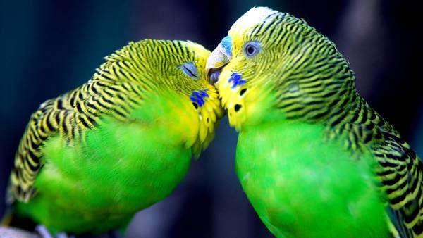 Целующиеся волнистые попугайчики, фото птицы попугаи фотография картинка