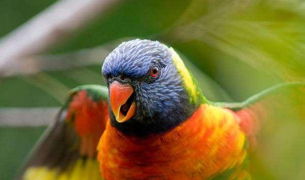 Радужный, или многоцветный лорикет (Trichoglossus haematodus), фото птицы фотография картинка