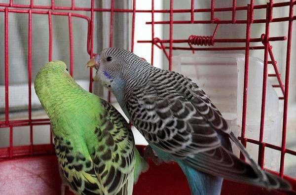 Волнистые попугаи попугайчики, фото птицы картинка фотография