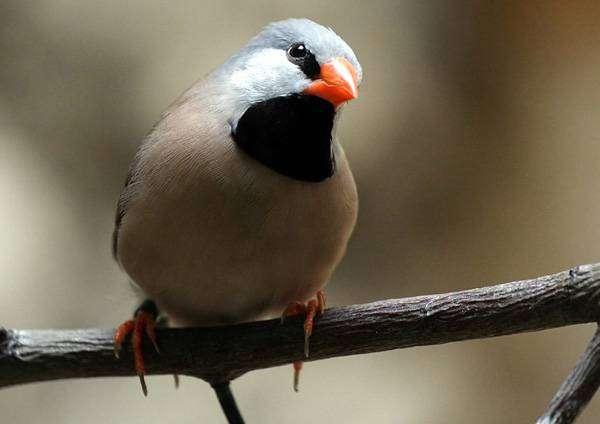 Острохвостая, или травяная амадина (Poephila acuticauda), фото фотографии птицы картинка
