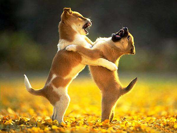 Играющие щенки, фото фотография щеночки собаки картинка