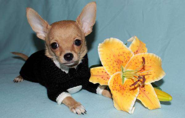 Щенок чихуахуа, фото породы маленьких собак фотография картинка