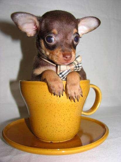 Щенок чихуахуа, фото фотография породы собак картинка