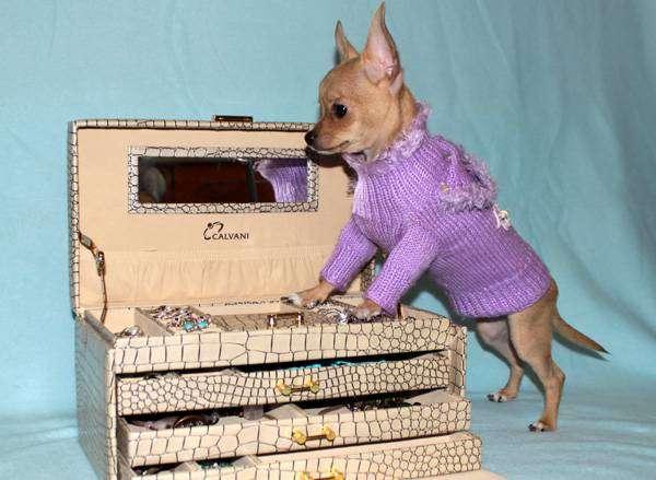 Щенок чихуахуа, фото фотография миниатюрные породы собачек картинка