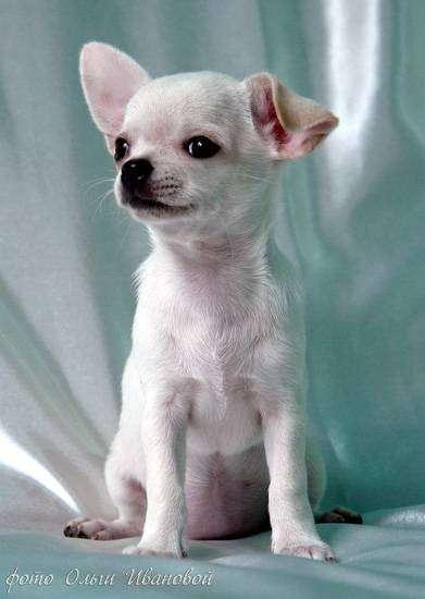 Чихуахуа, фото фотография маленькие собачки картинка