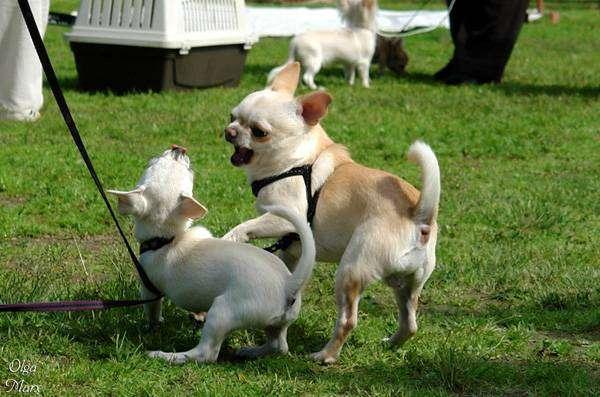Играющие чихуахуа, чихуа хуа, фото породы мини собачек картинка
