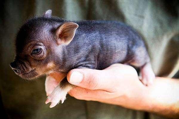 Поросенок мини-пига минипига карликовой свиньи на руке, фото фотография картинка