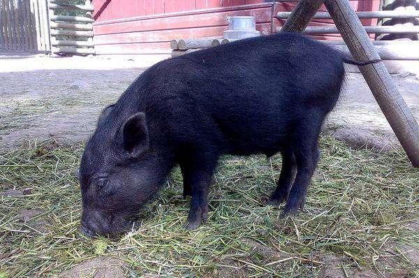 Мини-пиг, карликовая свинья, фотография картинка фото