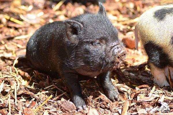 Поросенок мини-пига карликовой свиньи, фото фотография картинка
