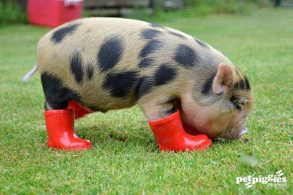 Поросенок мини-пига (карликовой свиньи) в сапожках, фото фотография картинка