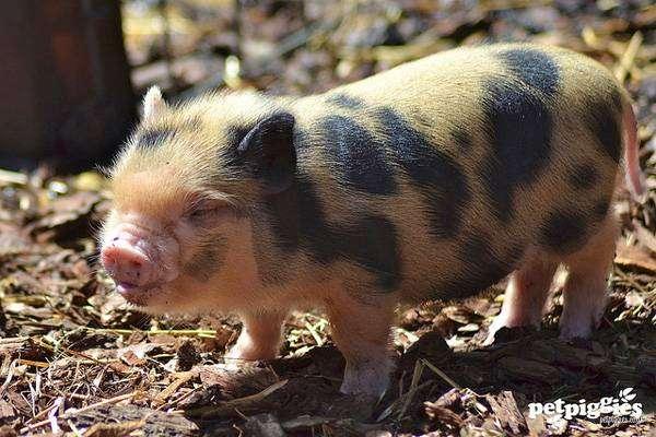 Поросенок мини свиньи (минипига), фото фотография картинка