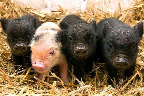 Поросята минипиги, карликовые свинки, фото фотография картинка