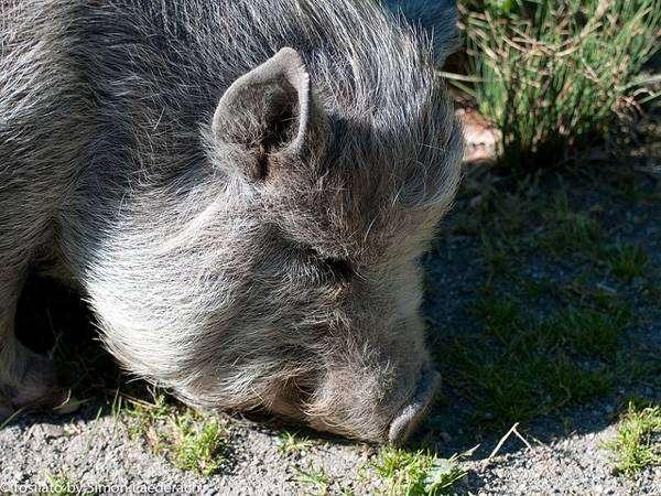 Мини-пиг, минипиг, карликовая свинья, фото фотография картинка