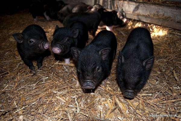 2-х недельные поросята карликовых свинок, минипиги, фото фотография картинка