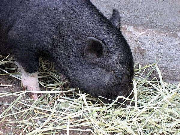 Взрослая карликовая свинья, минипиг, фото фотография картинка