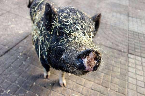 Карликовая свинка, мини-пиг, фото фотография картинка