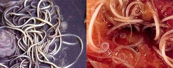 Свиные аскариды (Ascaris suum) и  Власоглав (Trichuris suis), фото фотография картинка паразитические черви свиней