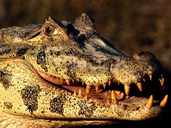 Крокодил, фото рептилии фотография картинка