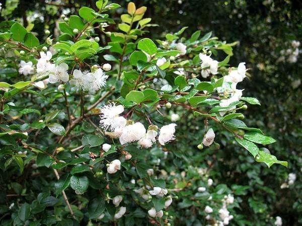 Мирт (Myrtus luma), фото растения фотография изображение