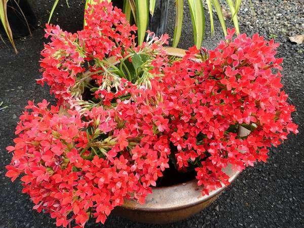 Гибридный каланхоэ (Kalanchoë), фото растения фотография картинка