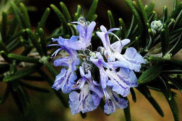 Розмарин (Rosmarinus officinalis), фото растения фотография картинка