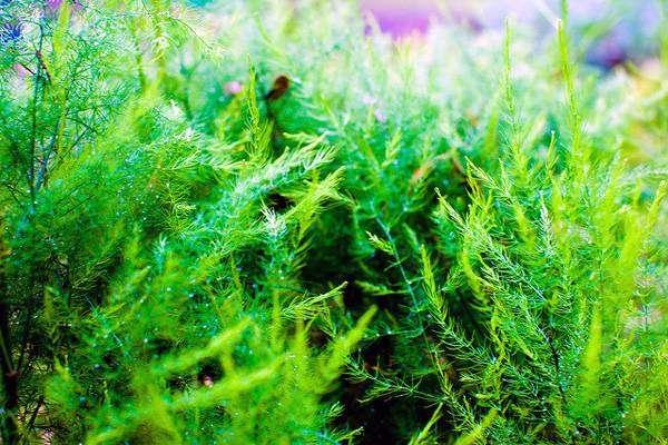 Аспарагус (Asparagus), фото растения для квартиры фотография картинка