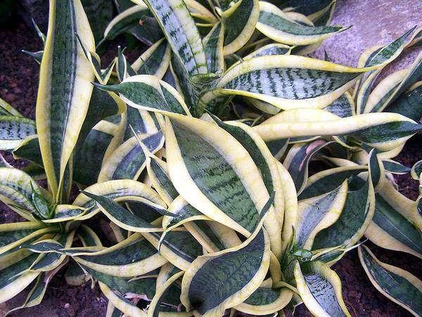 Сансевиерия (Sansevieria Trifasciata Hahnii swirls), фото растения для квартиры фотография картинка