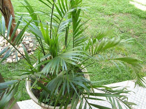 Хамедорея Сейфрица, или Бамбуковая пальма (Chamaedorea seifrizii), фото растения для дома фотография картинка