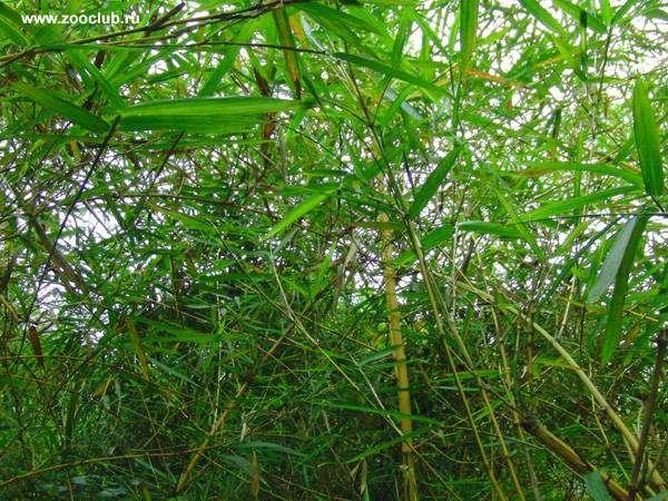 Бамбук обыкновенный (Bambusa vulgaris), фото фотография картинка