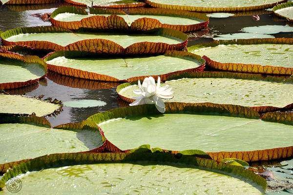 Амазонская виктория (Victoria amazonica), фото фотография картинка