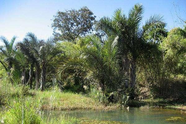 Рафия мадагаскарская (Raphia farinifera), фото пальмы фотография картинка