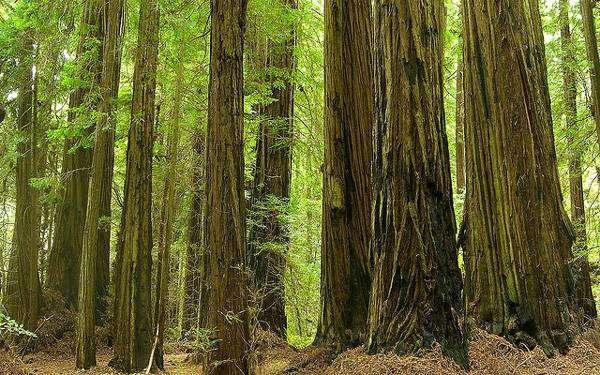 Вечнозеленая секвойя (Sequoia sempervirens), фото фотография картинка