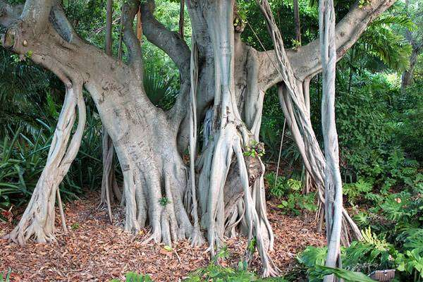 Бенгальский фикус (Ficus benghalensis), фото самые деревья фотография картинка
