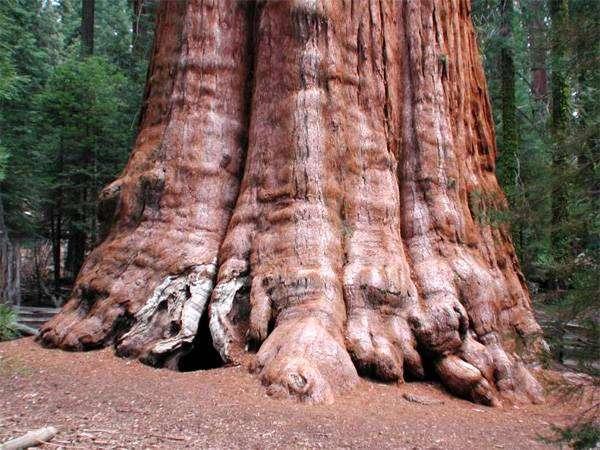 Секвойядендрон гигантский (Sequoiadendron giganteum), фото самые деревья фотография