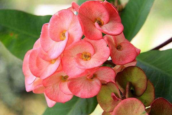 Молочай Миля (Euphorbia milii), фото фотография суккулентные растения
