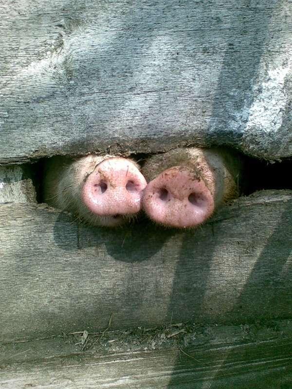 Свиные пятаки, фото обои фотография картинка
