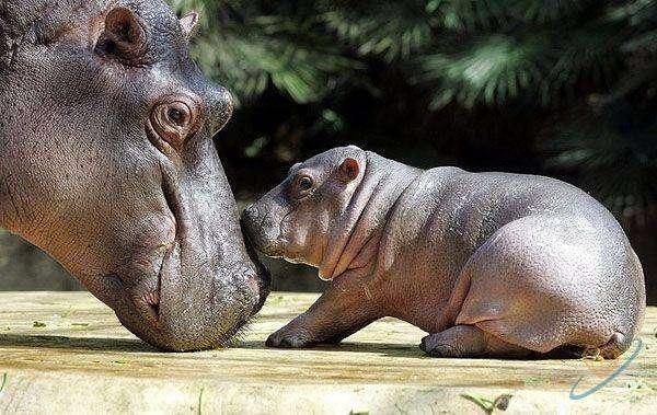 Малыш-бегемот и его мама, фото фотография картинка обои