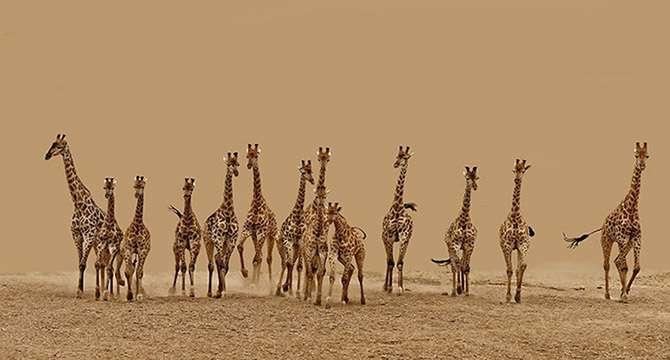 Жирафы везде, фото фотография картинка обои